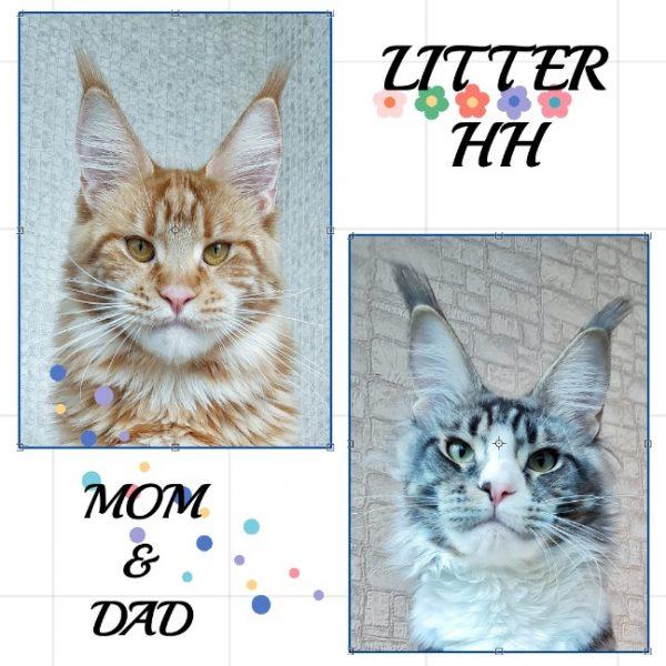 мейнкун Москва купить, котята мейнкун, мейнкун котята в Белгороде, купить котенка мейнкун, питомник мейнкунов, самая большая кошка